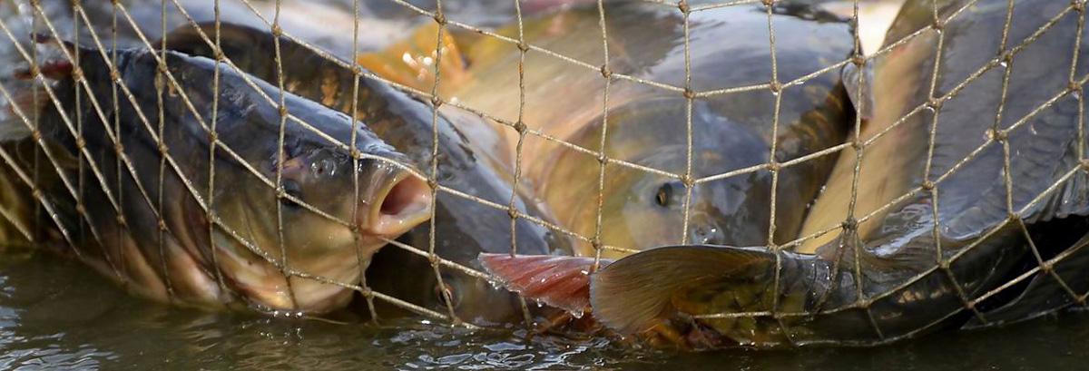 Úsek rybářské výroby